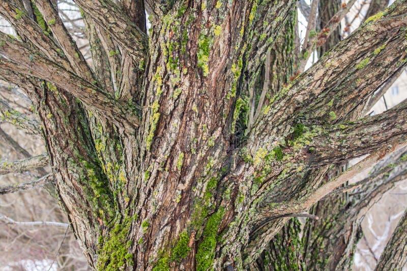 Weidenbarke bedeckt mit Moos stockfoto