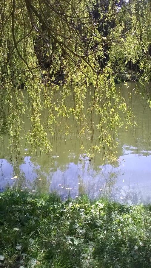 Weidenbaum am sonnigen Tag lizenzfreie stockbilder
