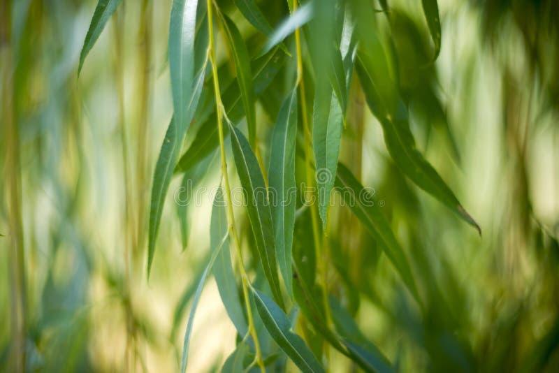 Weidenblätter schließen oben stockbild