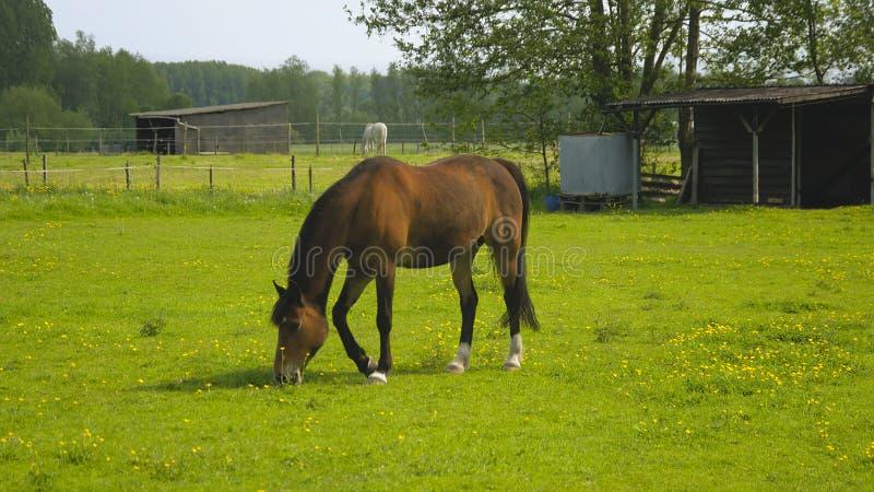 Weidend Paard in een Weide stock afbeeldingen