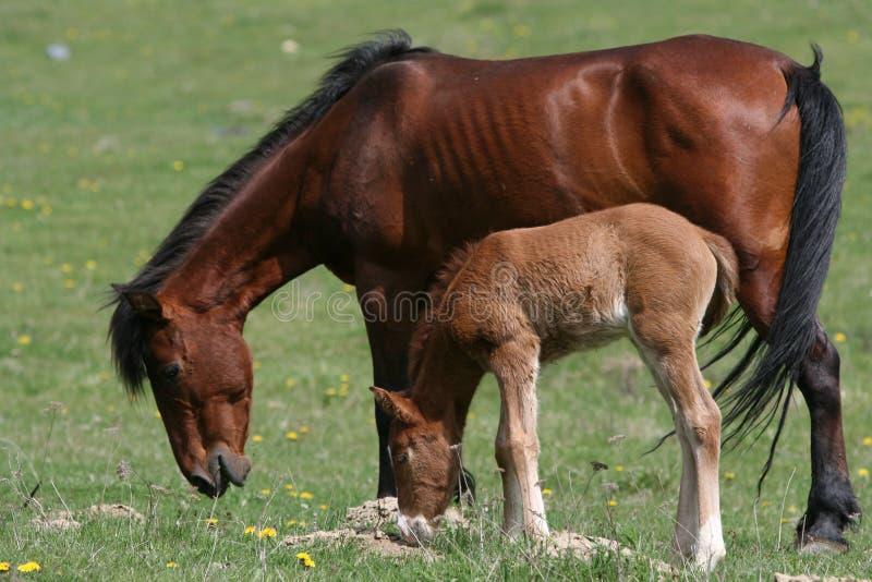 Weidend paard en veulen royalty-vrije stock foto's