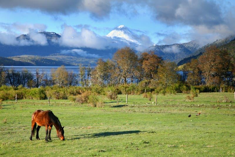 Weidend paard in Nationaal Park Lanin stock afbeelding