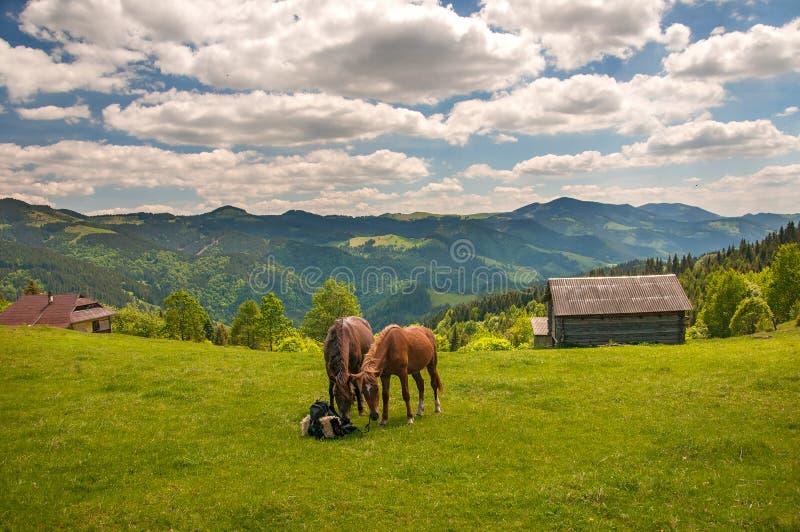 Weidend twee paarden bij hoogland weid bij Karpatische Bergen in stralen van zonsondergang royalty-vrije stock fotografie