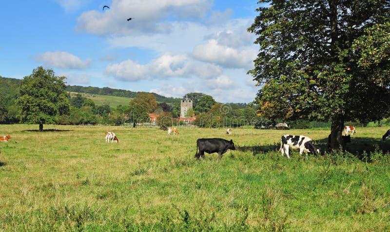 Weidend Vee in een Engelse Weide stock afbeeldingen