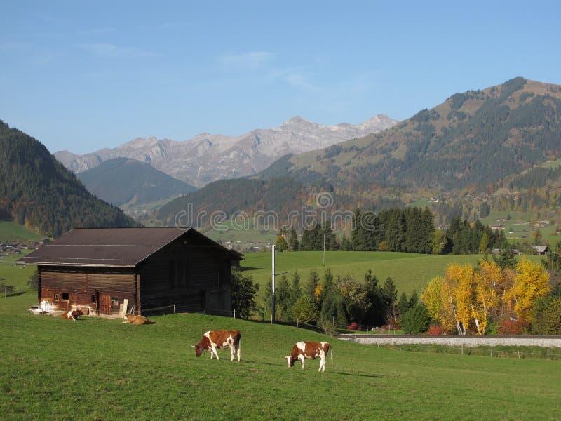 Weidend Vee in Gstaad royalty-vrije stock fotografie