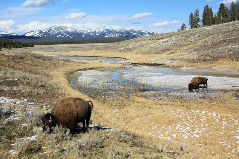 Weidende buffels in het Nationale Park van Yellowstone stock foto's
