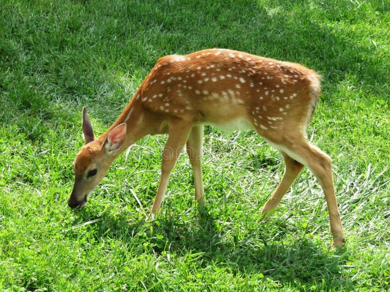Weidende Fawn Whitetail Deer stock afbeelding