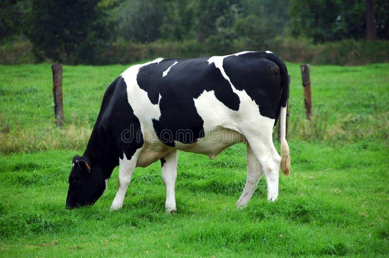 Weidende koe stock foto