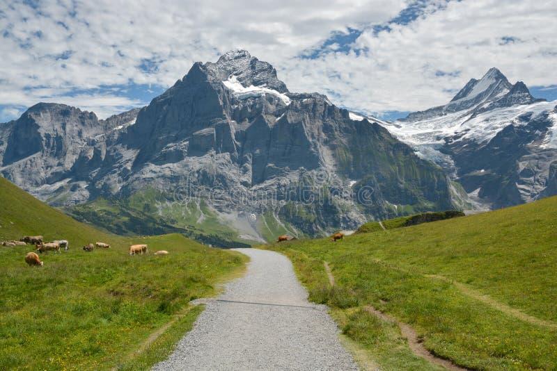 Weidende koeien dichtbij Grindelwald, Zwitserland stock foto
