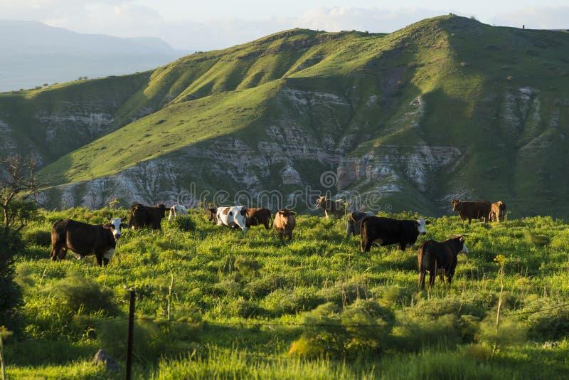 Weidende koeien in weiden in de bergen bij zonsondergang door Kinneret meer stock foto