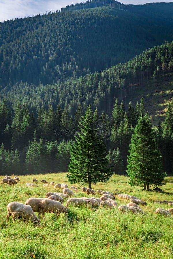 Weidende kudde van schapen op groene weide, Tatra-Bergen royalty-vrije stock foto's