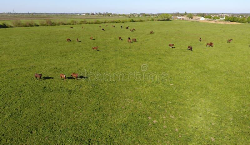 Weidende Paarden op het Gebied Het schieten van paarden van quadrocopter Weiland voor Paarden royalty-vrije stock foto's