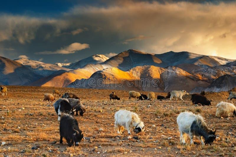 Weidende schapen en geiten royalty-vrije stock afbeeldingen
