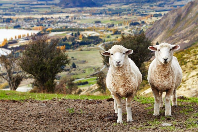Weidende schapen, Nieuw Zeeland royalty-vrije stock afbeelding