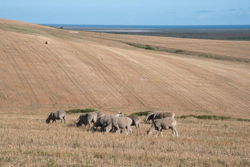 Weidende schapen op een droog landbouwbedrijf stock foto's