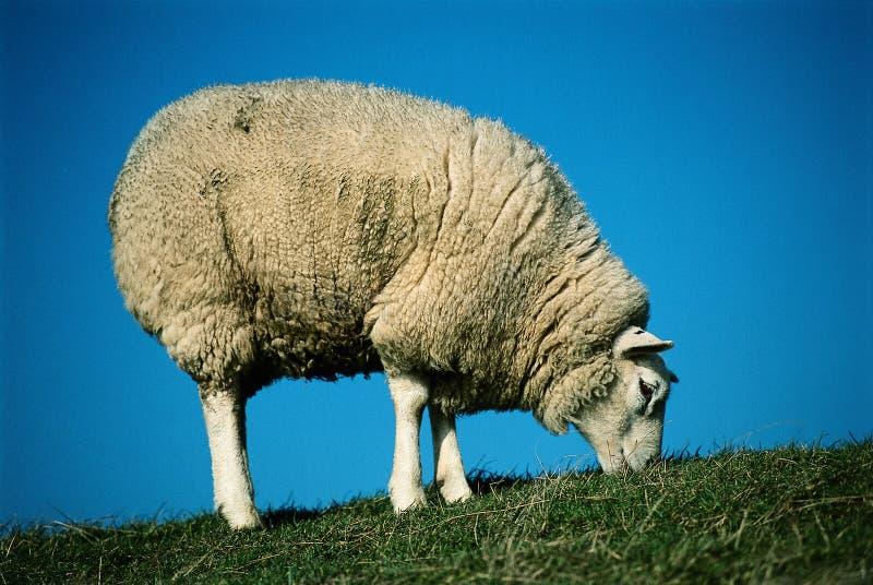 Weidende witte schapen stock afbeelding
