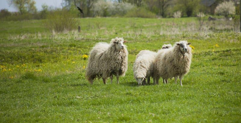 Weidende witte schapen Kudde van schapen op weide royalty-vrije stock fotografie