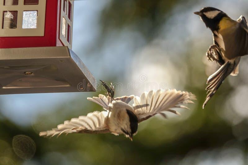 Weidenmeise und -Kohlmeise, die an einem Vogeltisch kämpfen stockfoto