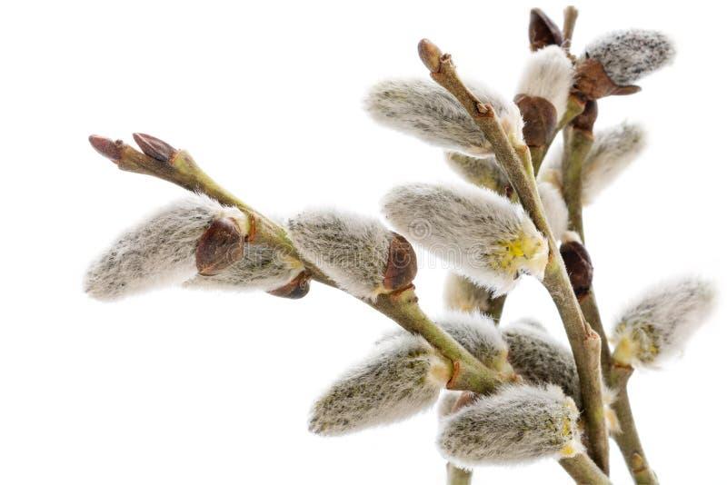 Weidenniederlassungen mit den Weidenkätzchen lokalisiert auf Weiß stockfotos