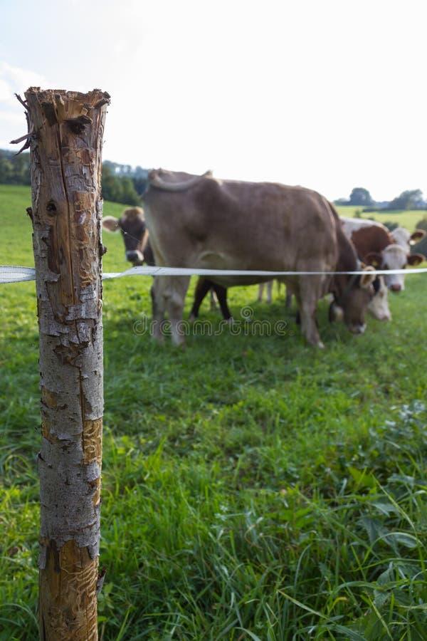 Weidenzaun mit bayerischen Kühen stockfotografie