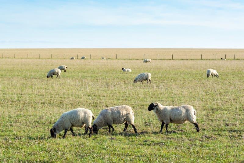 Weidescheren, die auf Grasland fressen 1 stockbild