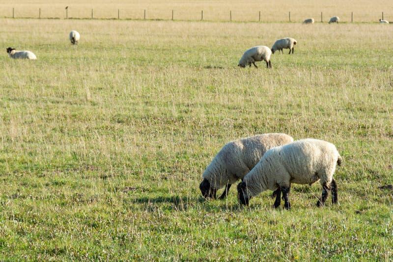 Weidescheren, die auf Grasland fressen 2 lizenzfreie stockfotografie