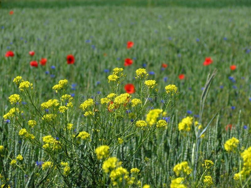 Weidewildflowers royalty-vrije stock foto