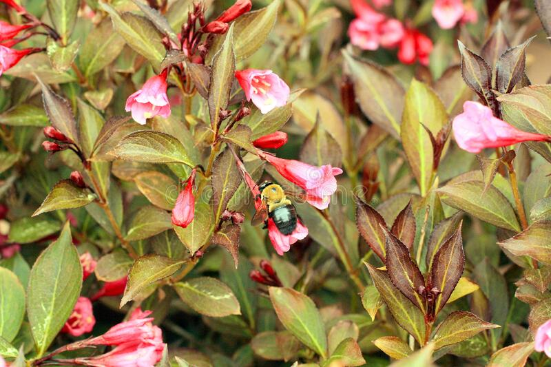 Weigela bush with bumble bee dark leaves with pink blossoms. Bumble bee Bright purple pink colored blossoms Vertical photograph of a Weigela bush with pink royalty free stock photos