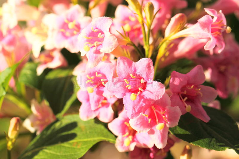 Download Weigela flowers stock photo. Image of nature, green, natural - 39818796