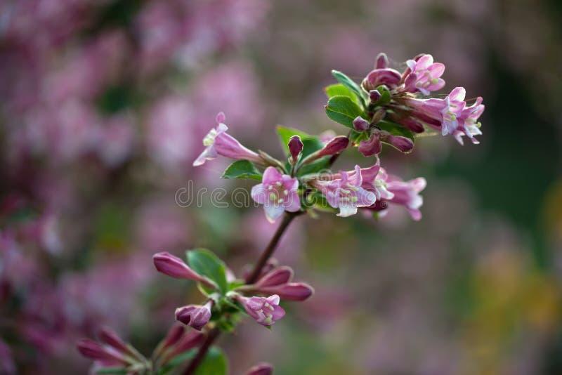 Download Weigela stock photo. Image of petals, branch, plants - 33061132