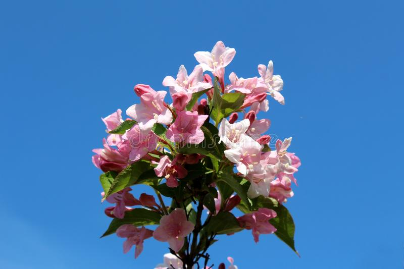 Weigela Rosea funnel shaped pink flowers and green leaves on blue sky background royalty free stock photography