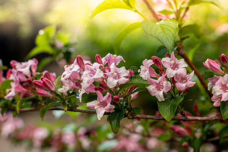 Weigelablommor i trädgård royaltyfri fotografi