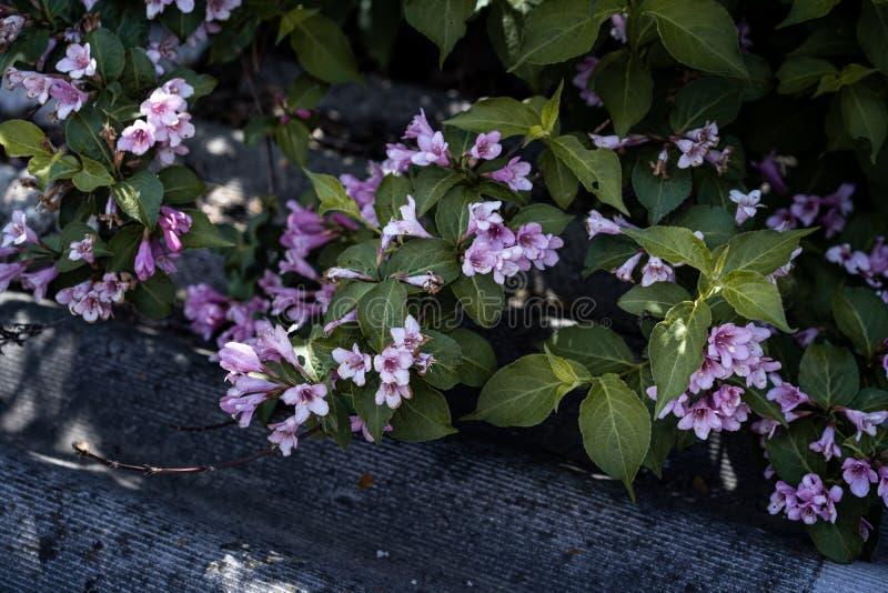 Weigelabuske i blom arkivfoto