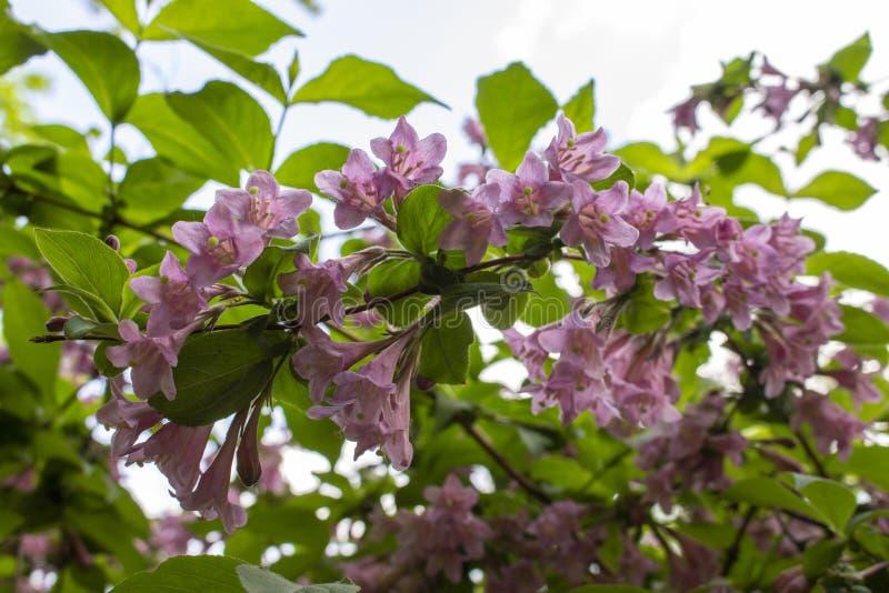 Weigelakamperfoelie die in de lente, een tak met bladeren en lijkwitte roze bloemen, zachte nadruk bloeien royalty-vrije stock foto