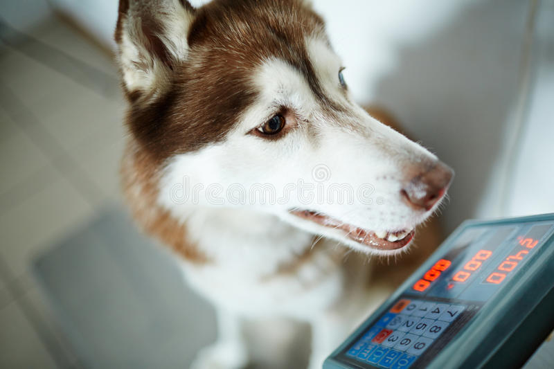 Weight of dog royalty free stock images