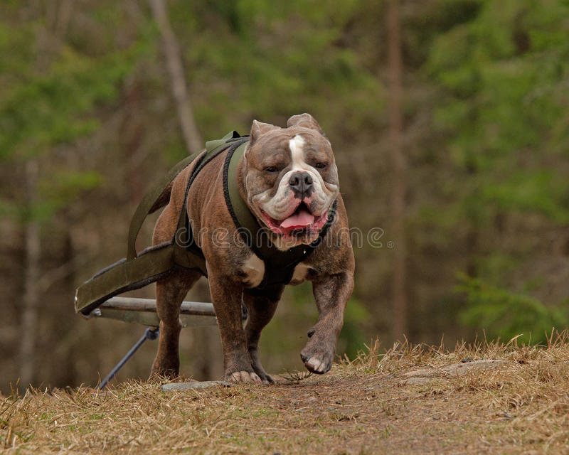 Download Weight pull for Bulldog stock photo. Image of dogsledding - 38899620