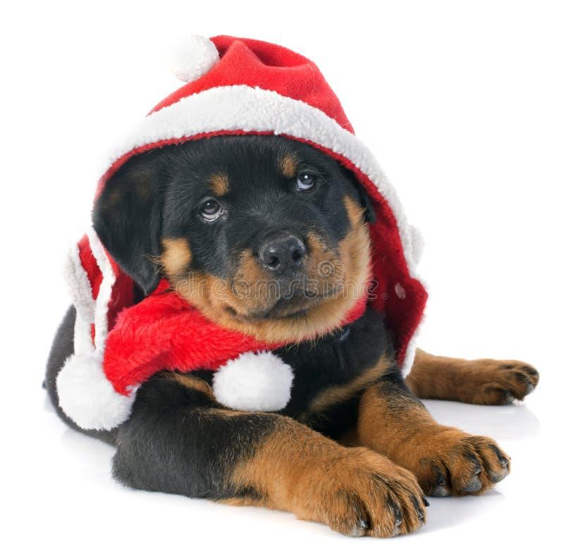 Weihnachten-rottweiler lizenzfreies stockfoto