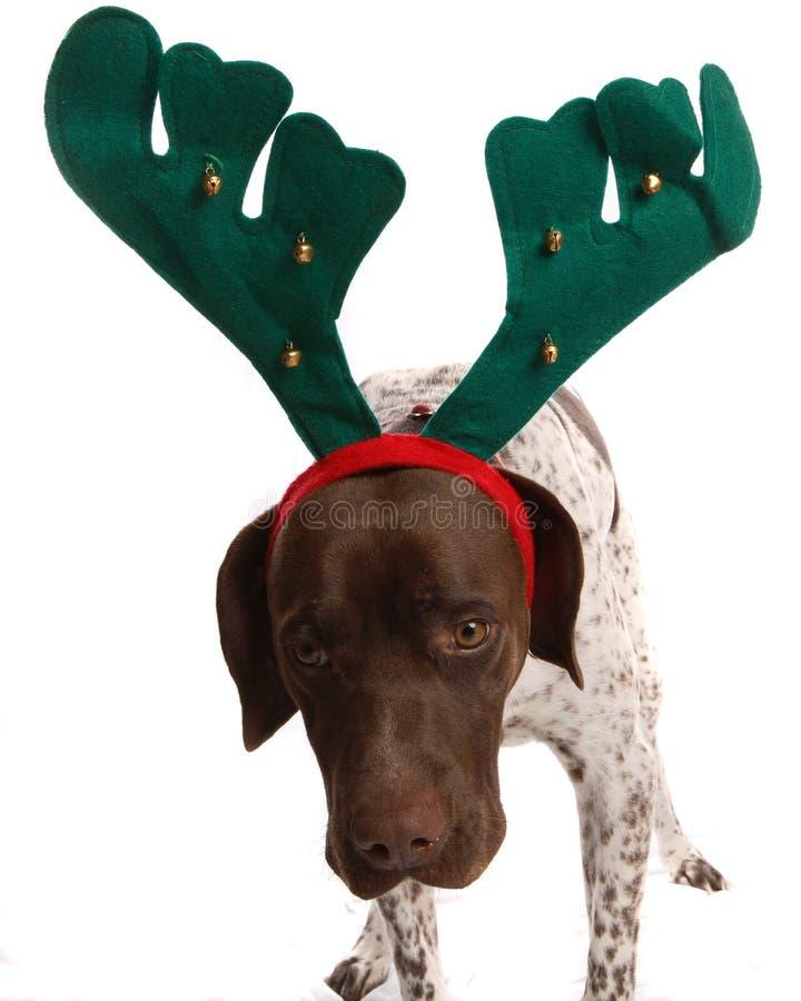 Weihnachtendogg, das unbeholfen schaut stockbild