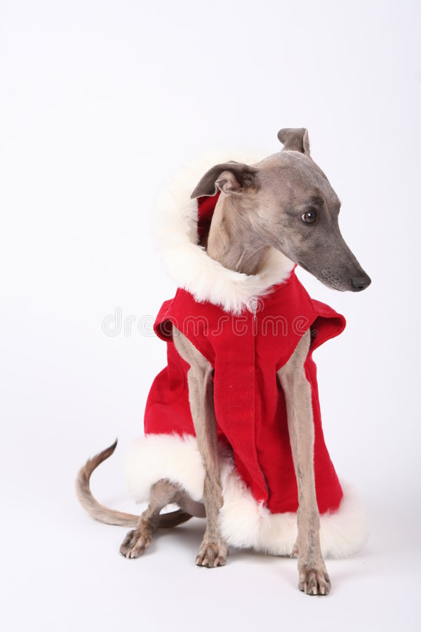 Weihnachtenwhippet lizenzfreie stockfotos