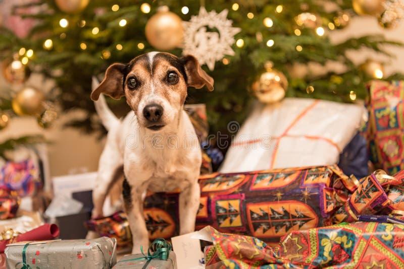 Weihnachts-Jack Russell Terrier-Hündchen vor einem Weihnachtsbaum stockbilder