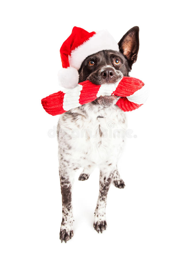 Weihnachts-Santa Dog Carrying Cany Cane-Spielzeug lizenzfreies stockfoto