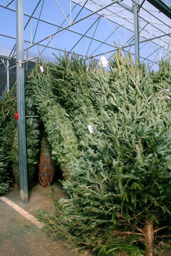 Weihnachtsbäume für Verkauf stockbild