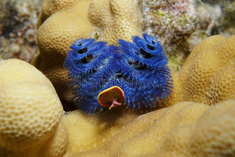 Weihnachtsbaum-Wurm Pazifischer Ozean des Seelebens blauer stockbild
