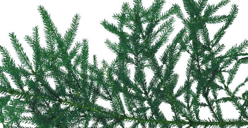 Weihnachtsbaumaste lokalisiert lizenzfreie stockfotografie