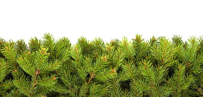 Weihnachtsbaumzweige in Weiß stockfotos