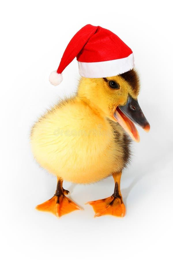 Weihnachtsente lizenzfreie stockfotografie