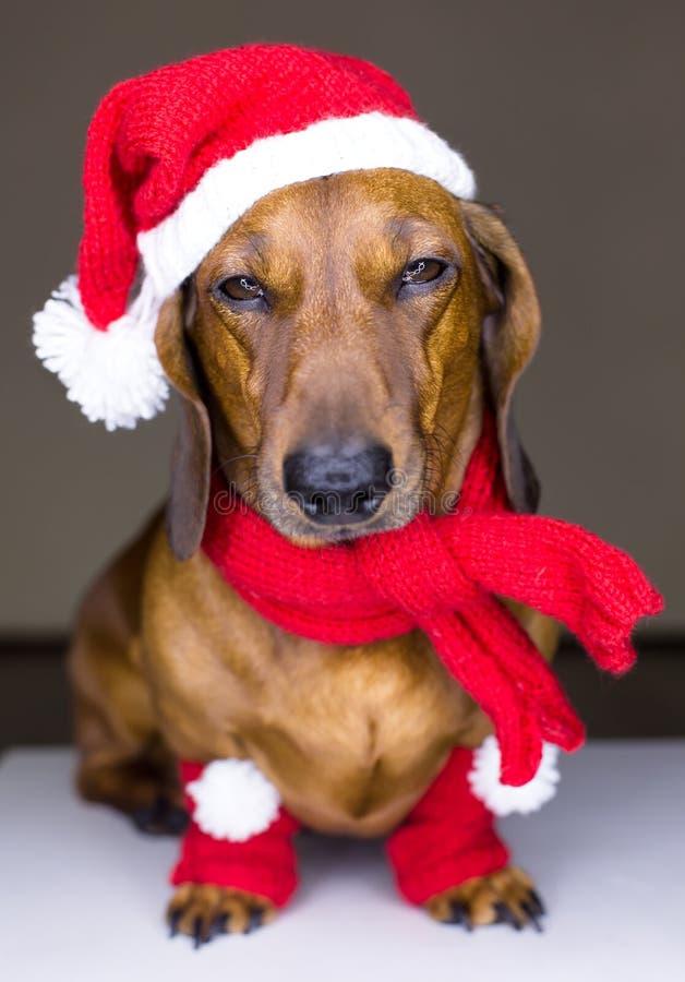Download Weihnachtshund stockfoto. Bild von jahr, jahreszeit, geschenk - 27726322