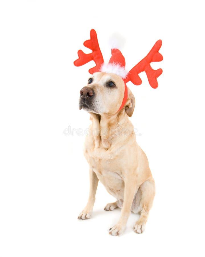 Weihnachtshund lizenzfreie stockfotografie