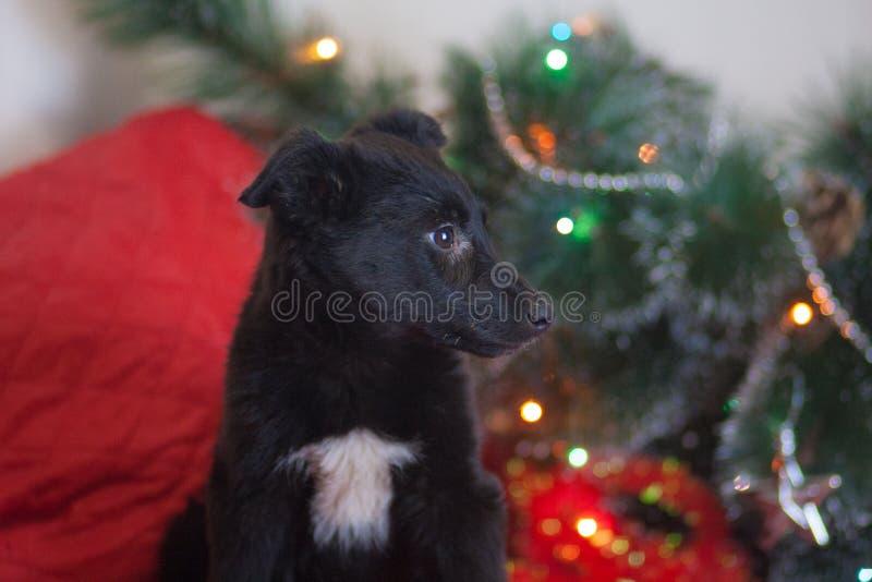 Weihnachtshundekonzept, neues Jahr der schwarzer Hundewelpentiere lizenzfreie stockfotos