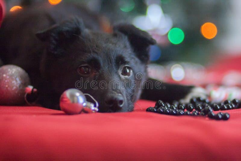 Weihnachtshundekonzept, schwarzer Hund, Welpe, Tiere, neues Jahr lizenzfreie stockbilder
